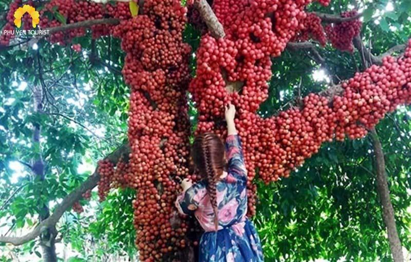 Vườn dâu trái đỏ - cao nguyên vân hòa - phú yên tourist